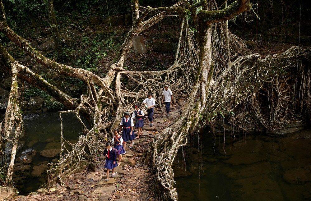 Živi korijenski most, Indija