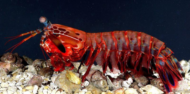 thoriumaplus-mantis-shrimp
